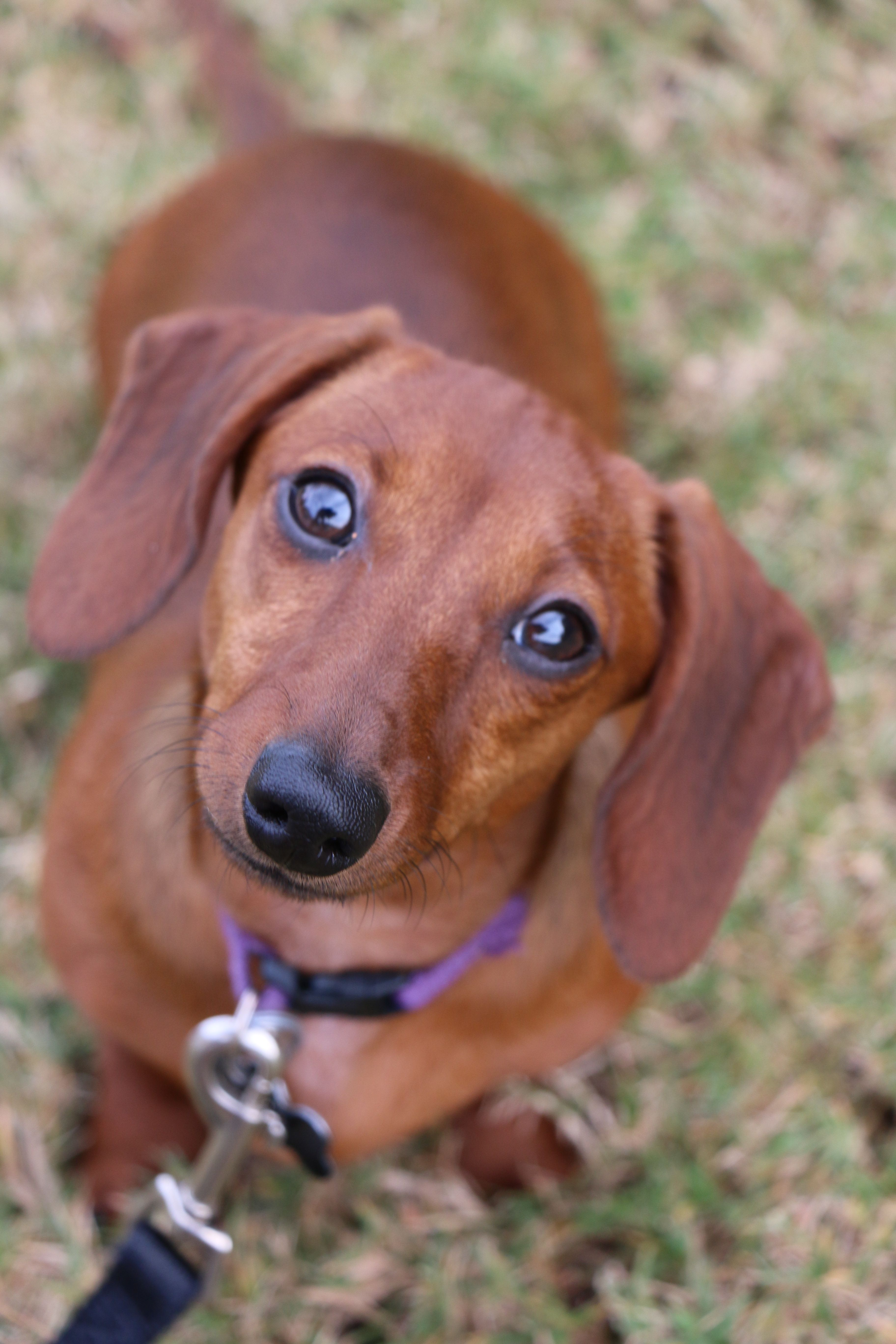Our Sweet Chloe Red Short Haired Dachshund Doxie Weiner Dog