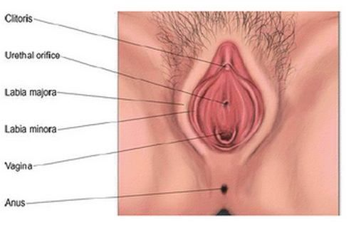 Diagram Of Anatomical Structure Of Vulva Self Knowledge Pinterest