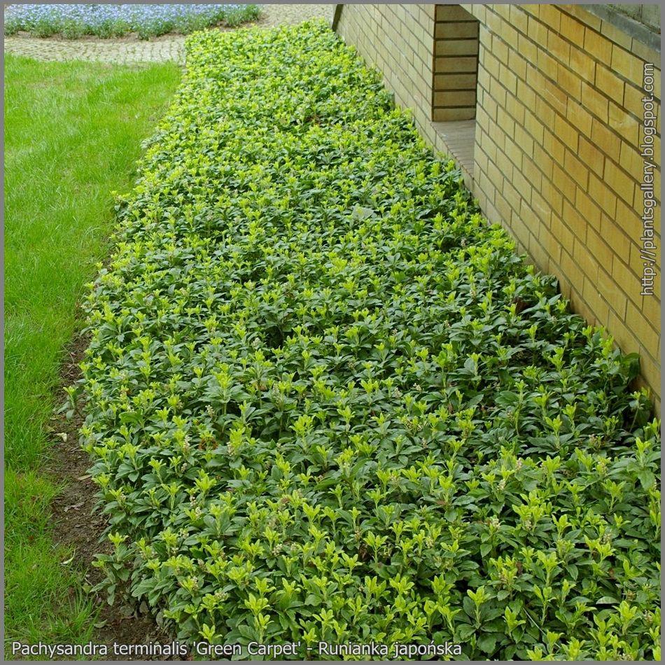 pachysandra procumbens green carpet - wintergroen | tuin