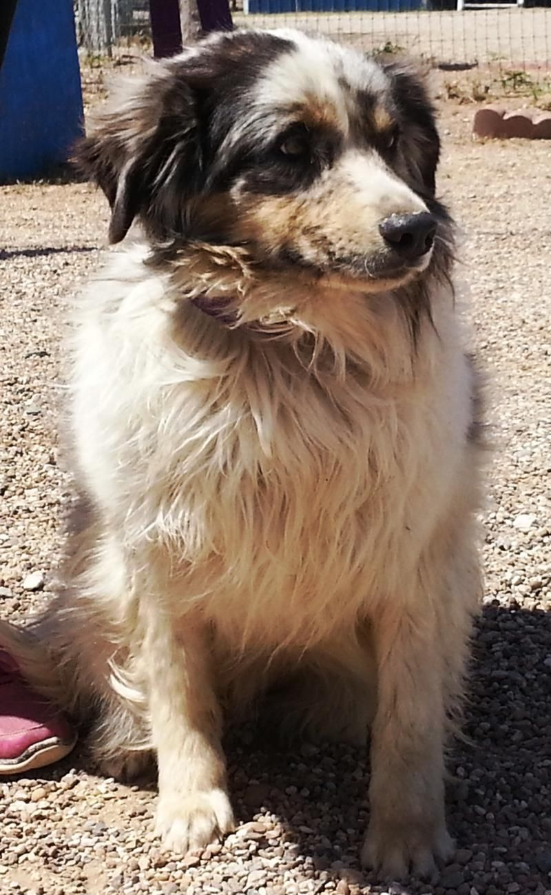 Adopt Alpha On Petfinder Funny Cats And Dogs Australian Shepherd Dogs Funny Cats