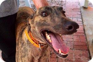 Pearl River, LA - Greyhound Mix. Meet Alonso, a dog for adoption. http://www.adoptapet.com/pet/11283595-pearl-river-louisiana-greyhound-mix