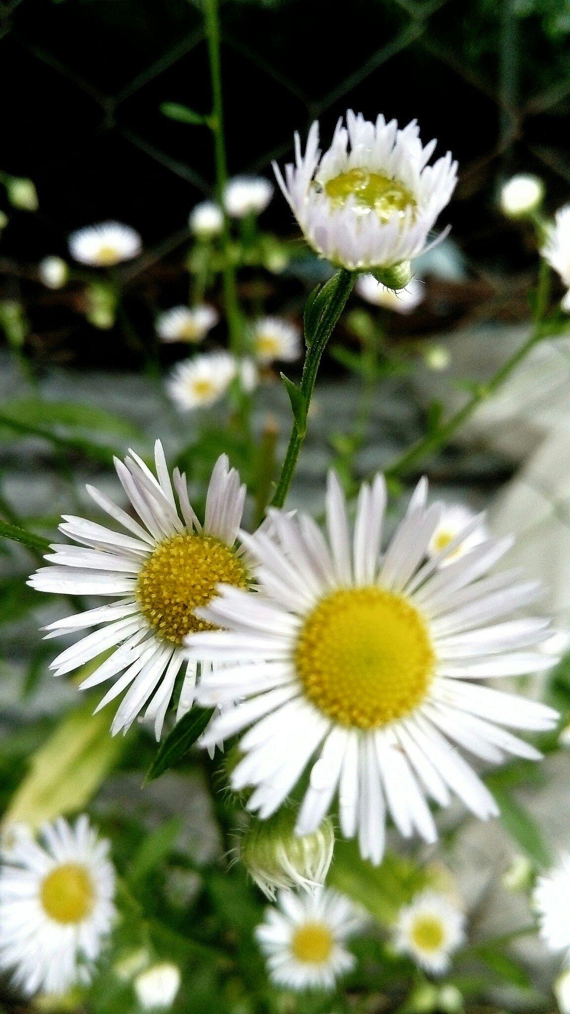 foto Z.Temur.. Papatyalar, Çiçek, Kır çiçekleri