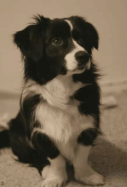 Border Collie Corgi Mix Beautiful Border Collie Corgi Mix