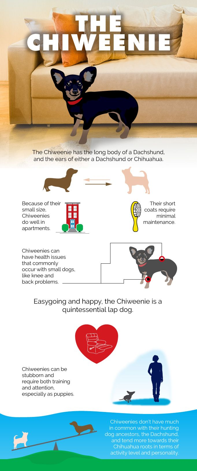 ba838732 All about the Chiweenie Dog Breed | Dogs | Chiweenie dogs, Chiweenie ...