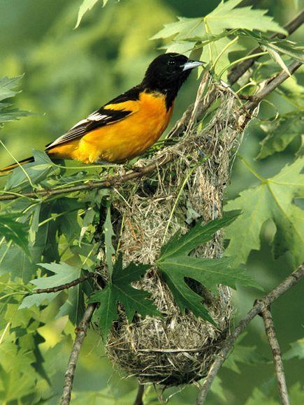 Baltimore Oriole Bird Lovers Photos Birds Baltimore