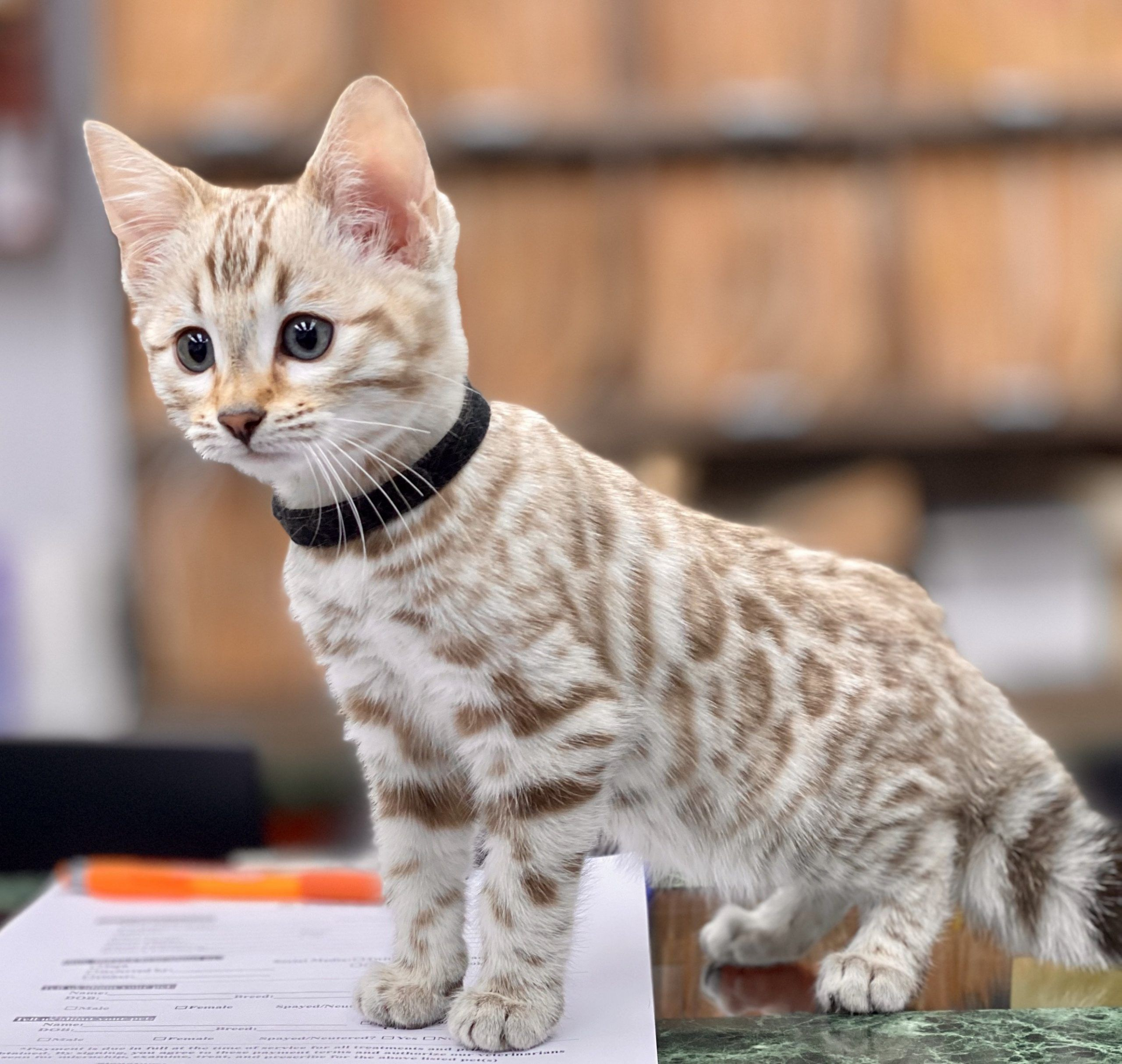 11 Cute White Bengal Cat Cost Pictures In 2020 Bengal Cat Bengal Cat Cost Bengal Cat For Sale
