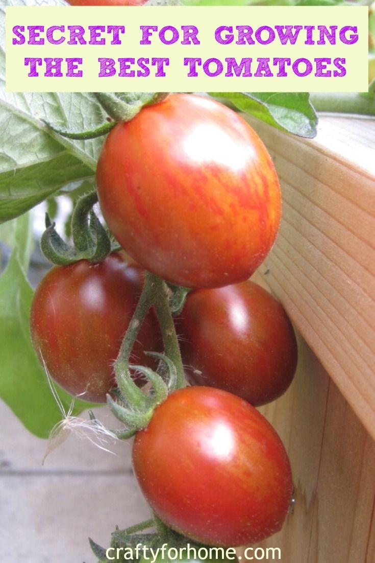 7 Things To Put On Tomato Planting Hole Gardening Tips Tomato