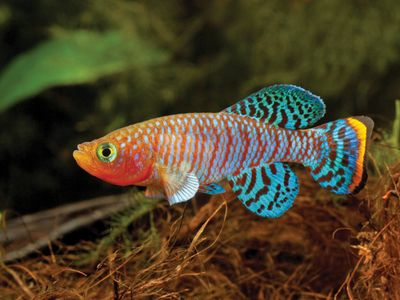 Cool Freshwater Fish Adding Color To The Aquarium Over Rainbow