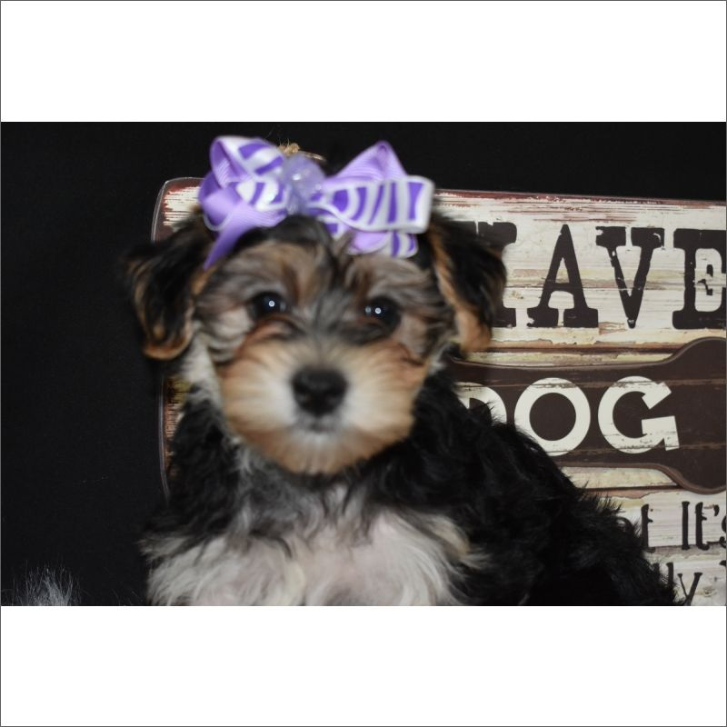 Morkie puppy for sale in TUCSON, AZ. ADN35425 on