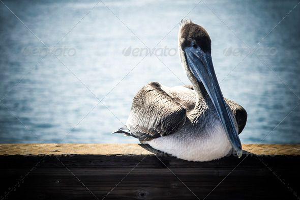 Realistic Graphic DOWNLOAD (.ai, .psd) :: http://hardcast.de/pinterest-itmid-1006545806i.html ... Relaxing pelican ...  Waterbird, animal, beach, beak, bill, bird, brown, california, nature, ocean, pelican, pier, seabird, water, wild, wildlife  ... Realistic Photo Graphic Print Obejct Business Web Elements Illustration Design Templates ... DOWNLOAD :: http://hardcast.de/pinterest-itmid-1006545806i.html