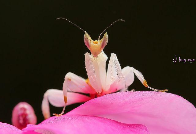 Pink Orchid Mantis Orchid Mantis Pink Orchids Praying Mantis
