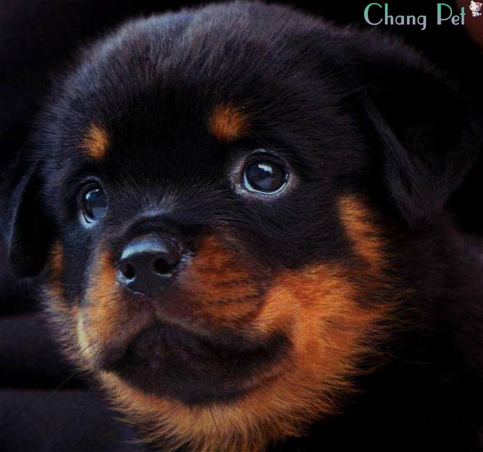 Rottweiler 3 Rottweiler Puppies Rottweiler Rottweiler Lovers