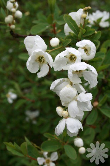 Pearl bush exochorda x macrantha 39 the bride 39 a bushy for White flowering bush