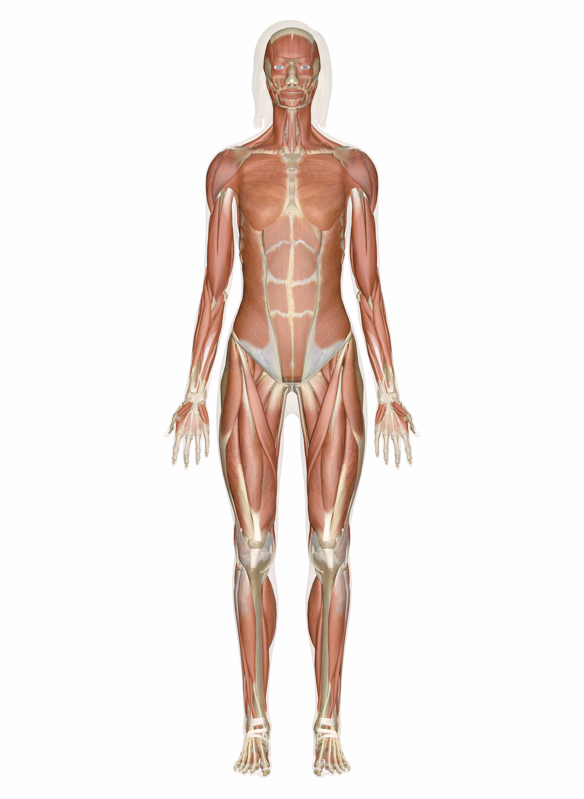 Human Muscular System The Muscles Of The Human Body Are