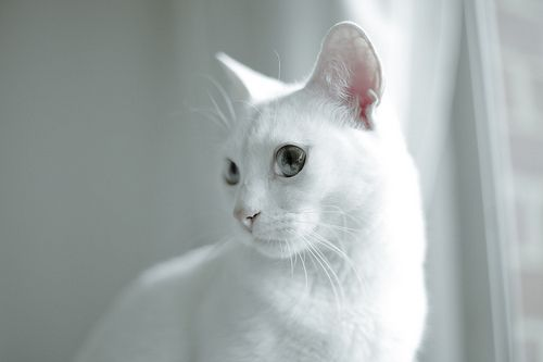 Gorgeous white cat