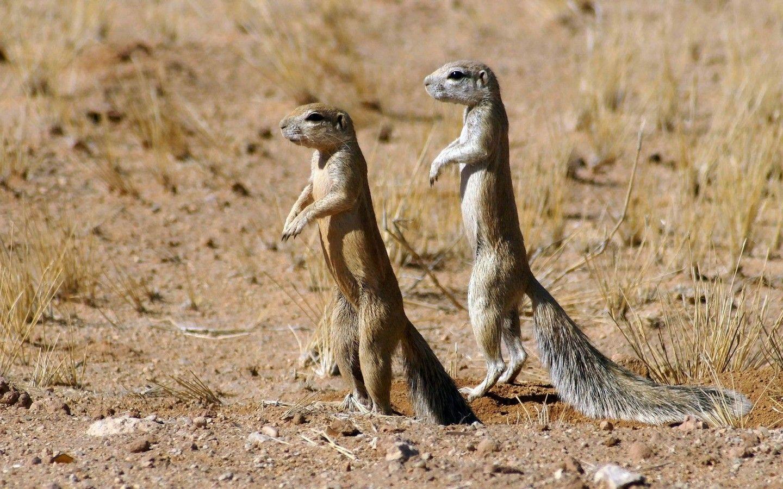 cape ground squirrels Desert animals, Squirrel, Ground