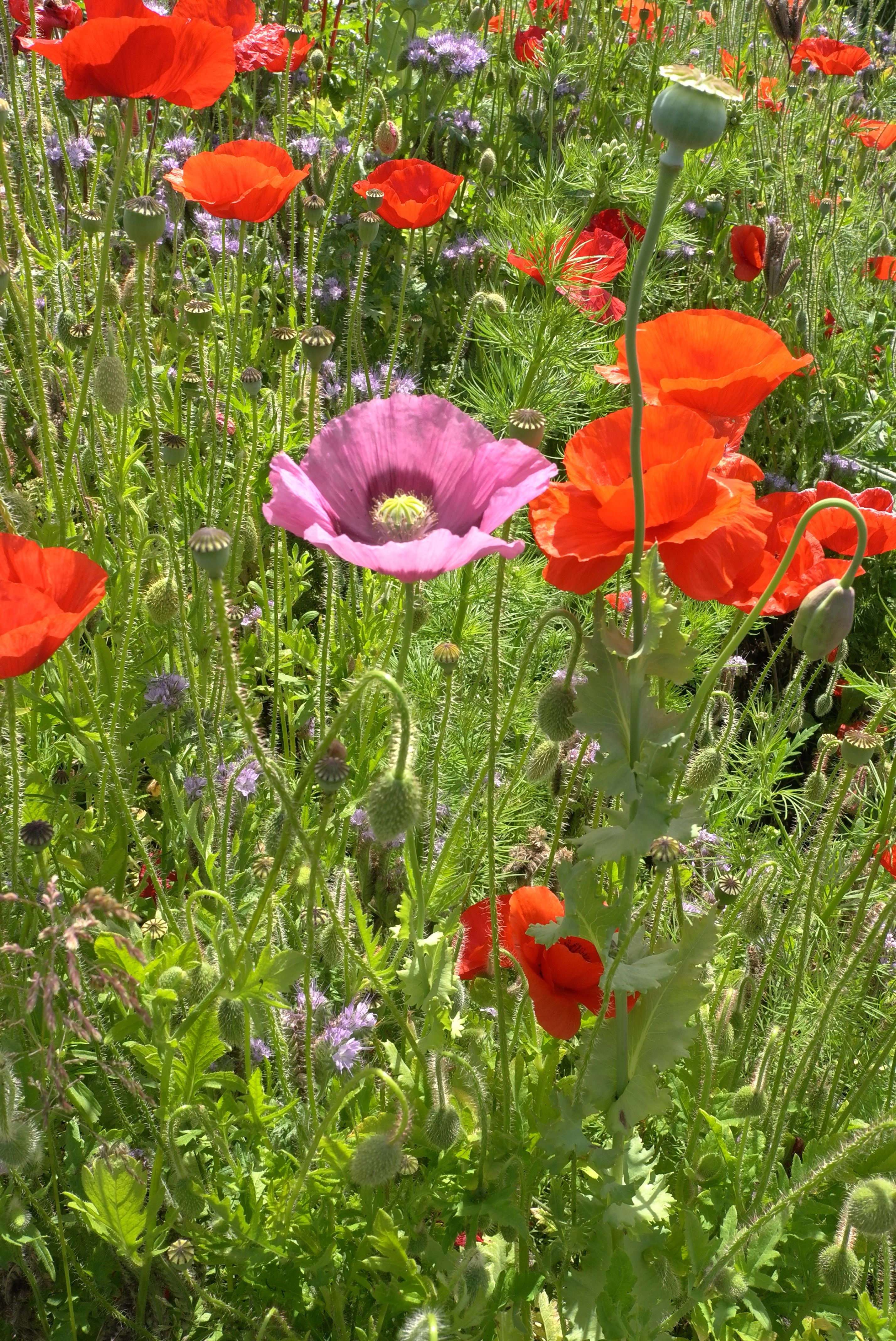 Field Poppies And An Opium Poppy In The Allotment Poppies A