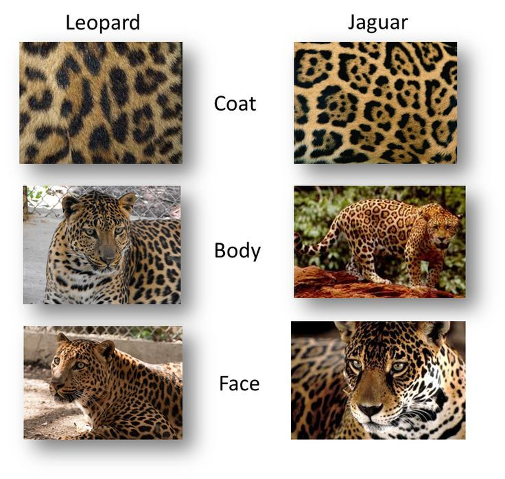 difference between leopard and cheetah print