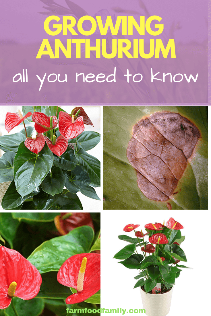 How To Grow Anthurium All You Need To Know Farmfoodfamily Plant Care Houseplant Anthurium Plant Anthurium