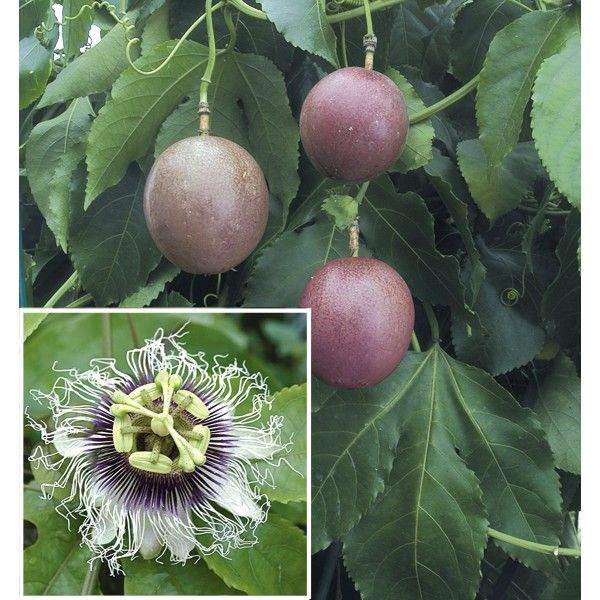 Passion Flower Possum Purple Passiflora Edulis Passion Flower Passiflora Fruit Plants