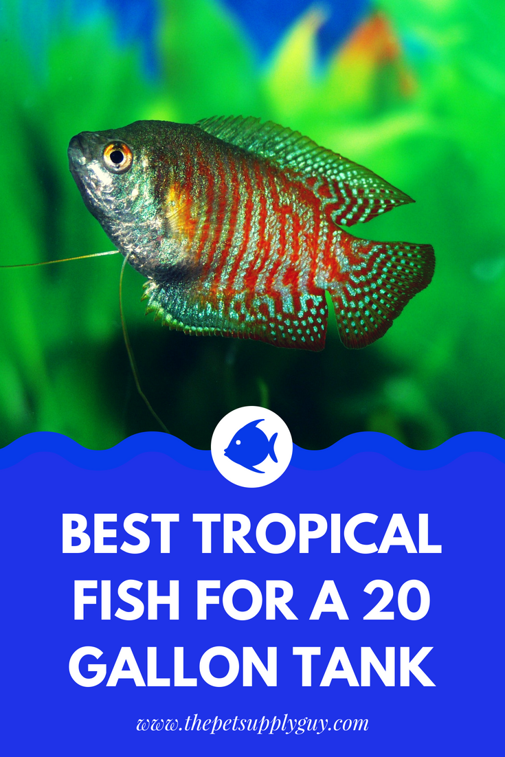 Best Tropical Fish For A 20 Gallon Tank The Pet Supply Guy
