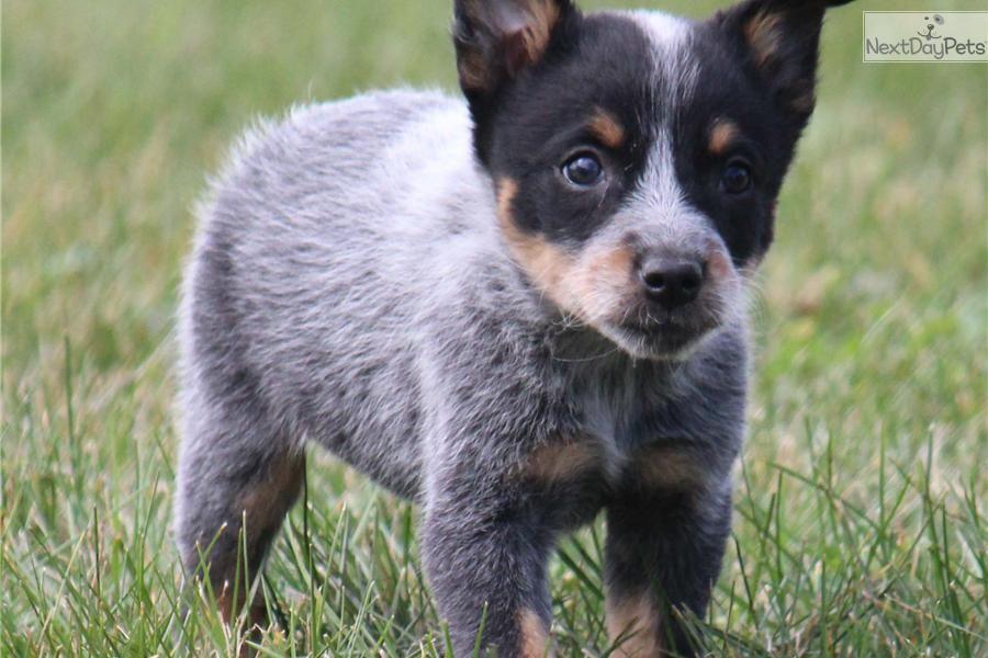 Meet Dally A Cute Australian Cattle Dog Blue Heeler Puppy For Sale Blue Heeler Puppies Heeler Puppies Cattle Dogs Rule