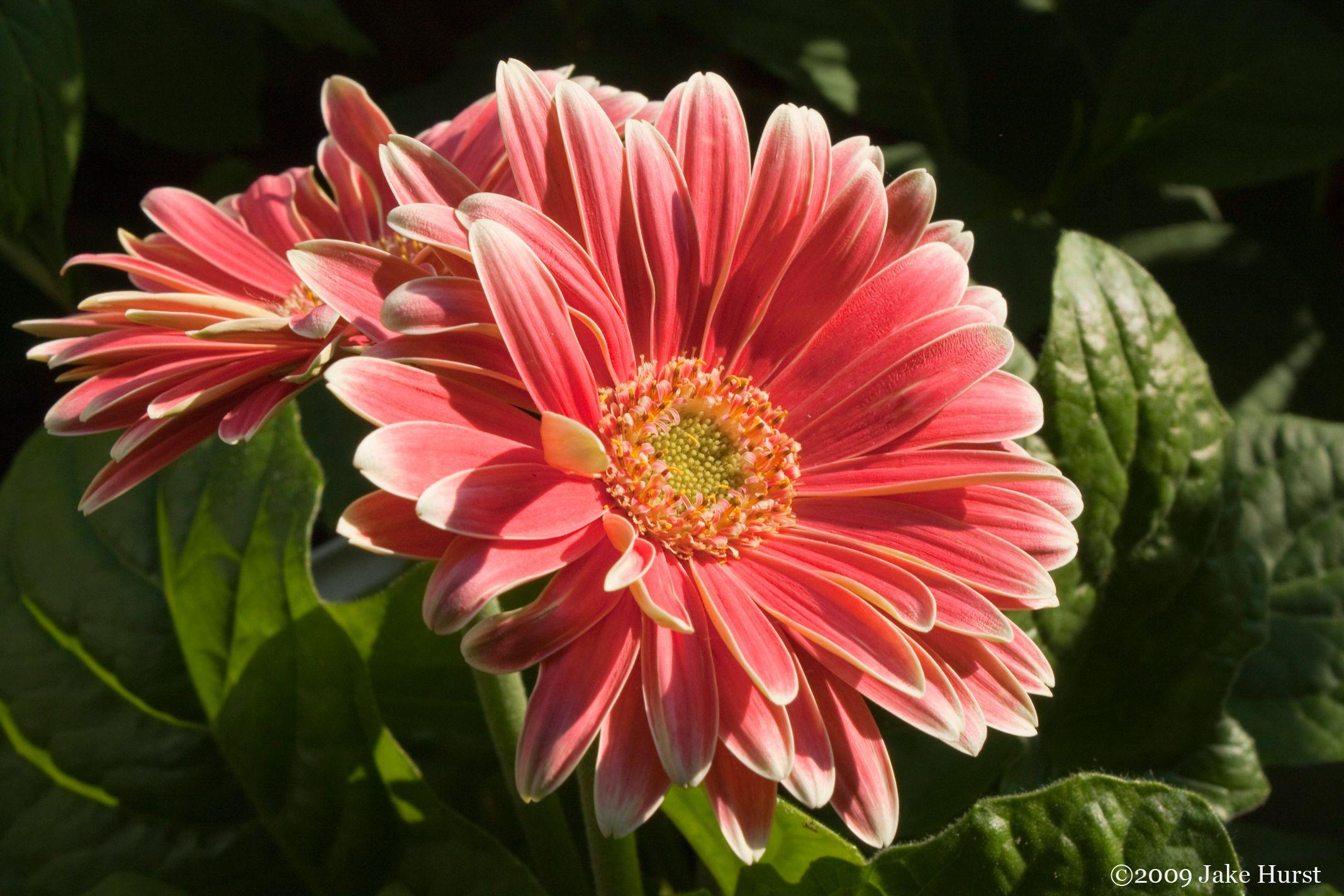 Gerber Daisy Additional mon Names Transvaal Daisy African Daisy Veldt D