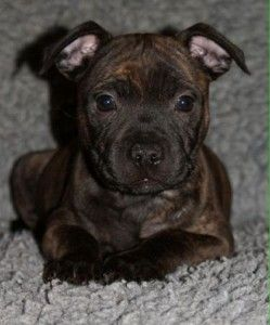 Miniature Staffordshire Bull Terrier Puppies With Images