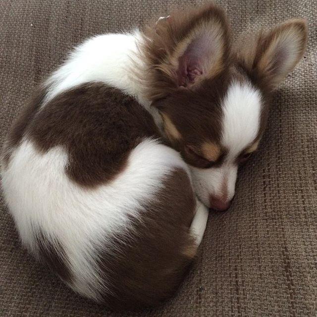 H29.5.5 おはよう🎏朝寝するハルたん🐶💕 #chihuahua #chihuahualove #ちわわ#チワワラブ #longcoatchihuahua #ロングコートチワワ#ロンチー#puppy #子犬#仔犬#3ヶ月#ハル#かわいすぎる #かわいい #instadog #インスタドッグ#dog #犬#いぬのいる暮らし #癒やしわんこ #ちわすたぐらむ #ちわわ画像 #ちわわん #ちわわ大好き #ちわすたぐらむ#愛犬#애견  #10ワン10色親バカ会 #朝寝