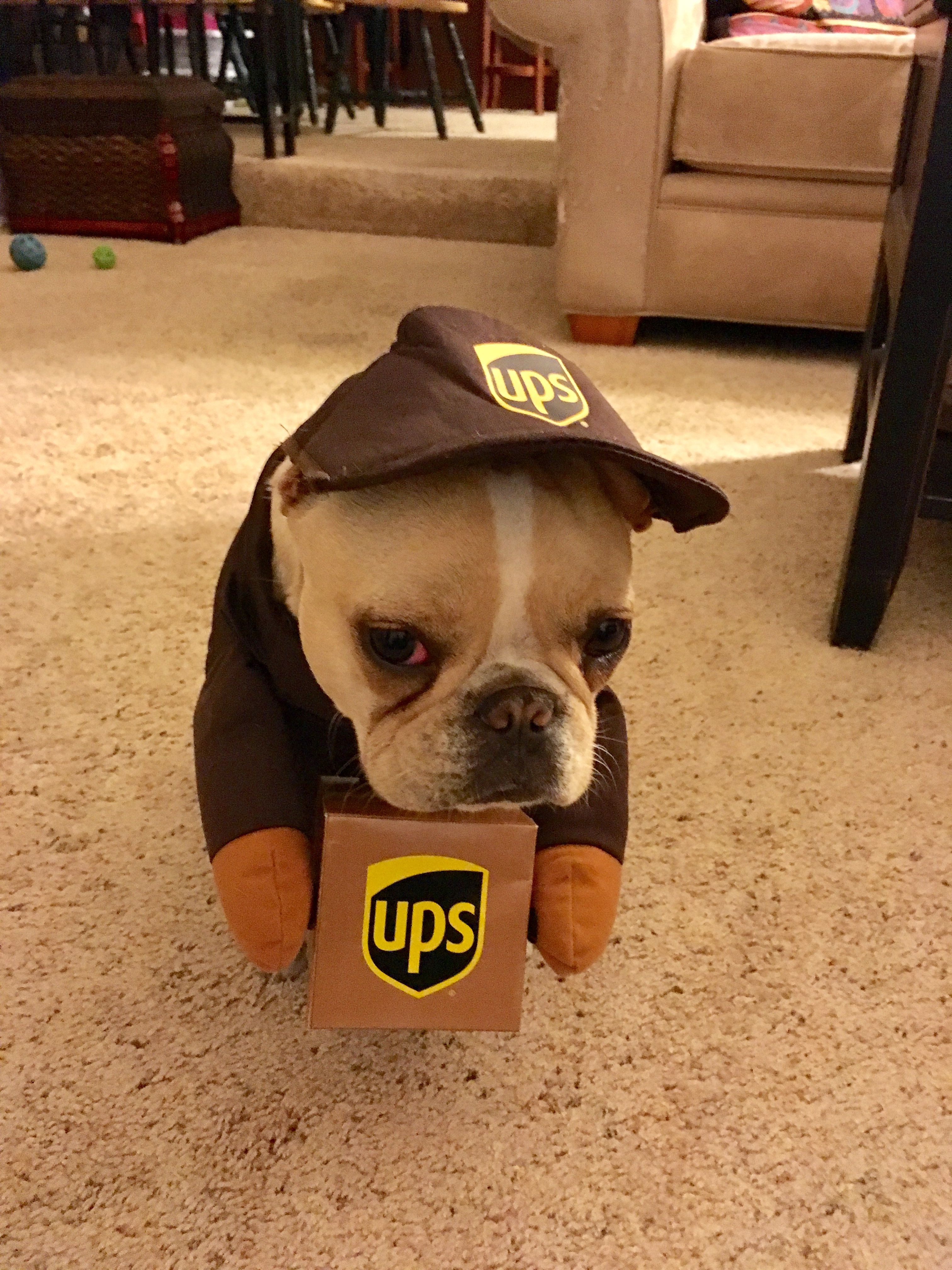 """But WHY do i have to deliver for UPS?"", French Bulldog"