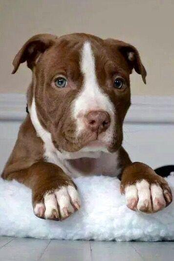 Cutie Pitbull Terrier