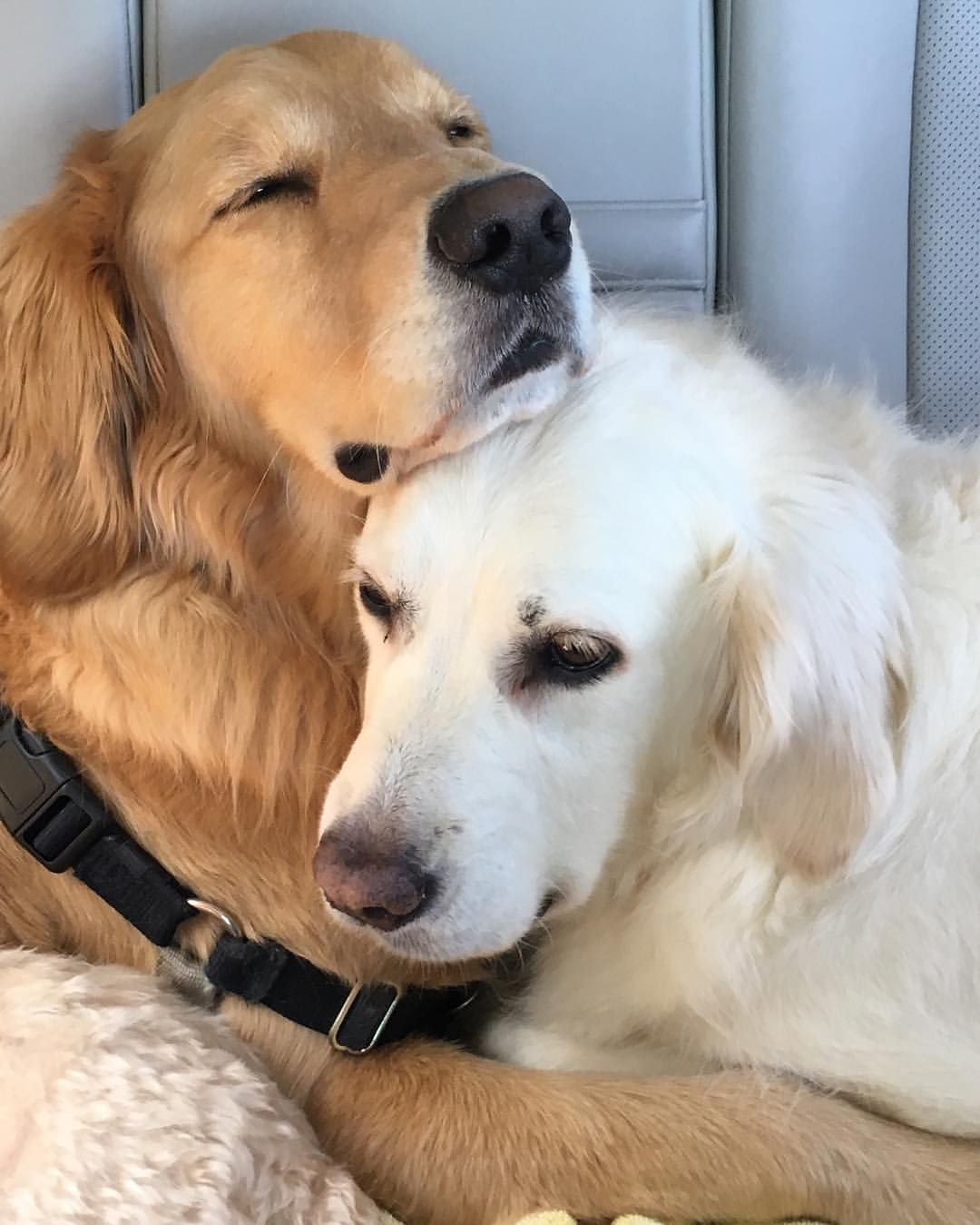 Puppy Hugs Puppy Hug Smiling Dogs Golden Dog