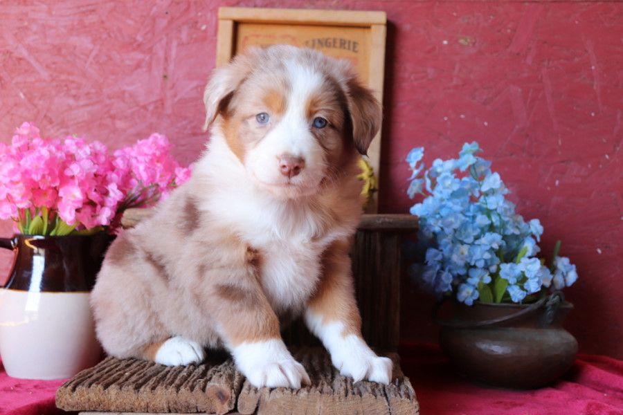 Puppies For Sale With Images Australian Shepherd Puppies Aussie Dogs Dog Breeder