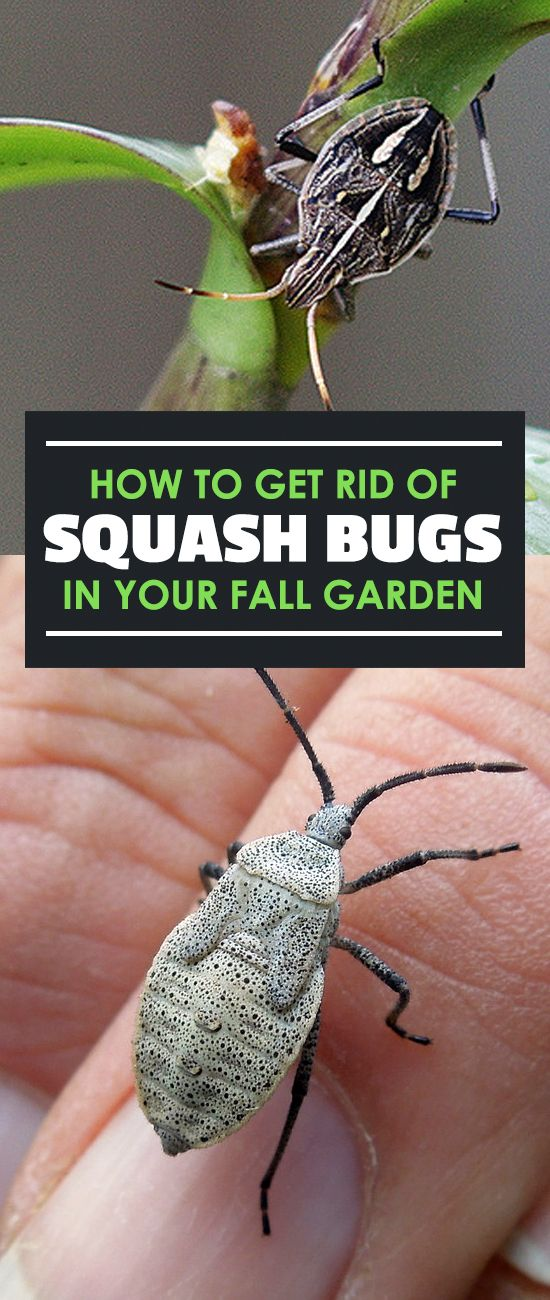 How to get rid of squash bugs in your fall garden - How to get rid of bugs in garden ...