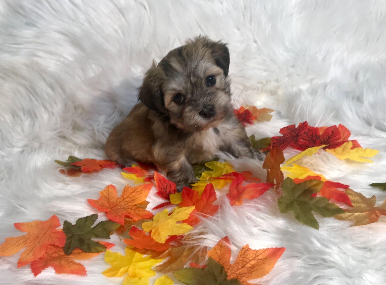 Adrianes havanese has havanese puppies for sale in