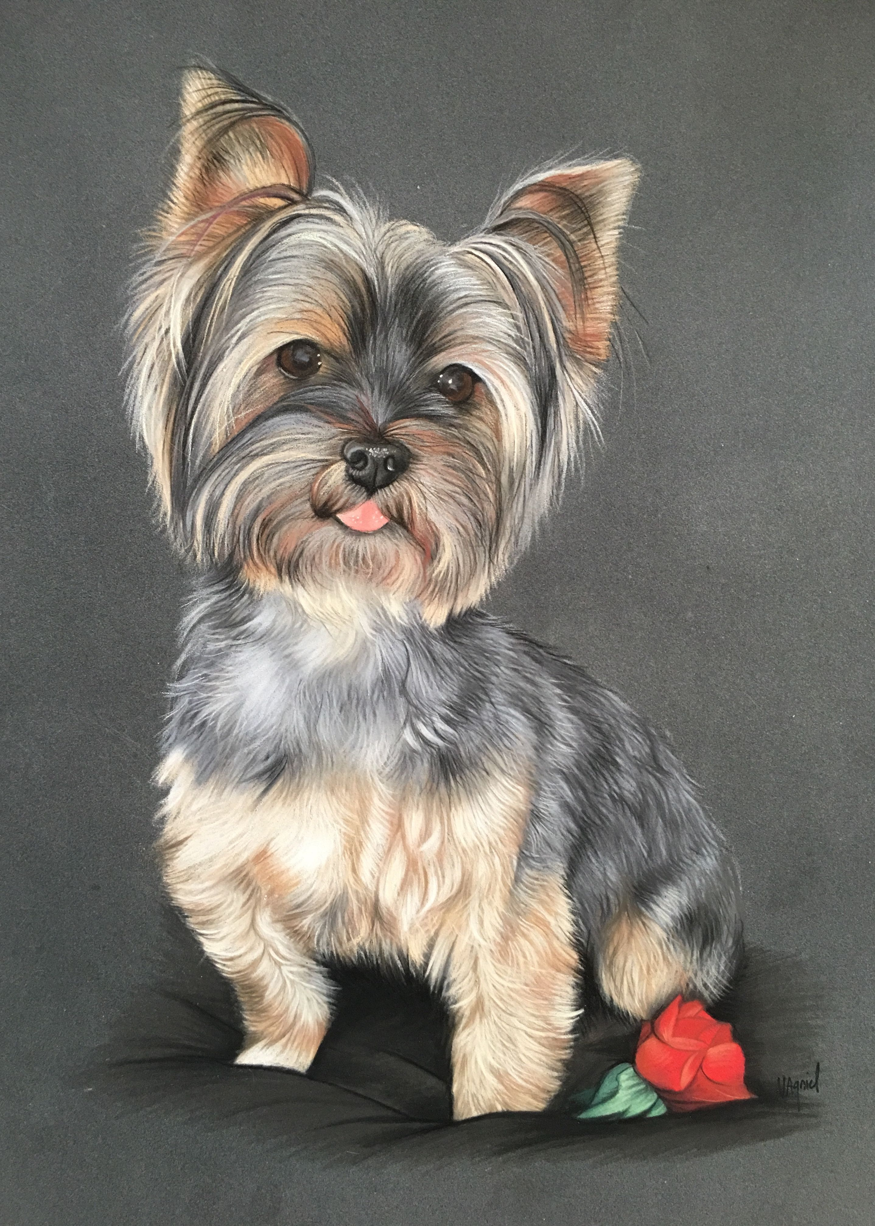 Yorkshire terrier portrait animalier au pastel dessin - Dessiner un yorkshire ...