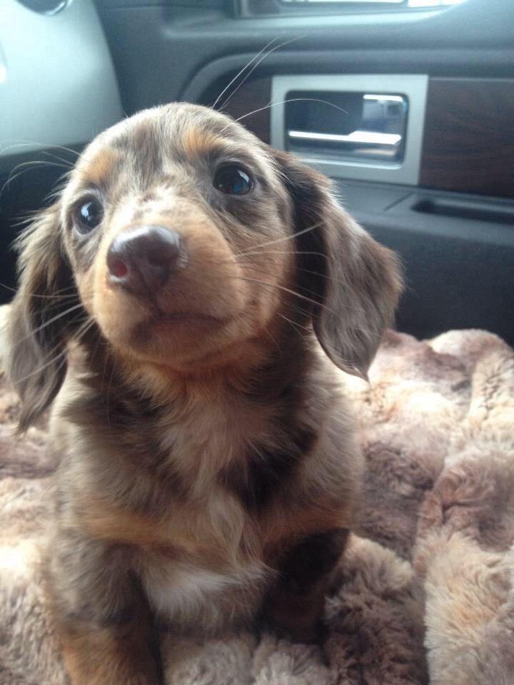 Dapple dachshund
