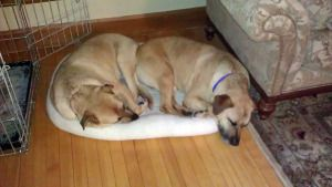 Noah and Moses is an adoptable Mastiff Dog in Marblehead, MA. Noah and Moses are 4 year old lab mastiff brothers. These big lumbering boys are sweet, gentle souls who love to play with each other and ...