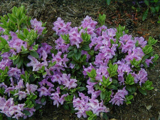 Rhododendron Lavandula Dwergrhododendron Azalea