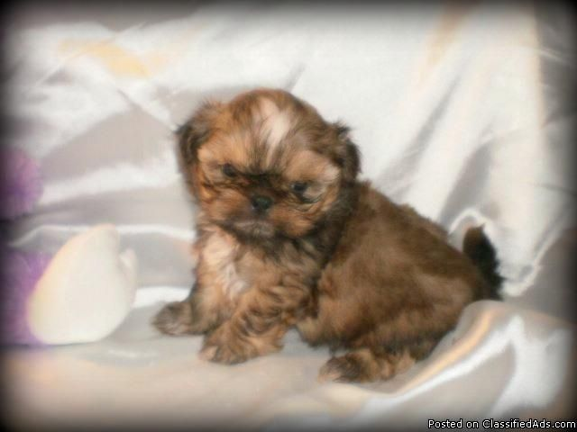 Small Imperial Shih Tzu Puppies Tiny Rare Chocolate