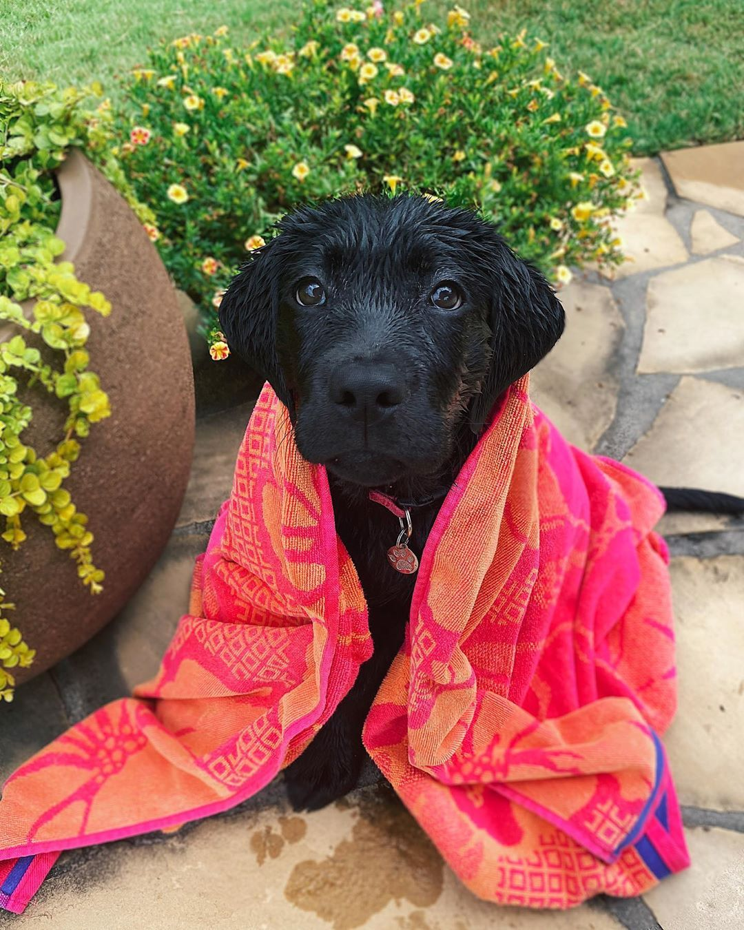 Georgia The Black Lab On Instagram I Loveeee To Be Towel Dried After A Dip In The Pool If You Rub My Ears I Start Snoring Be In 2020