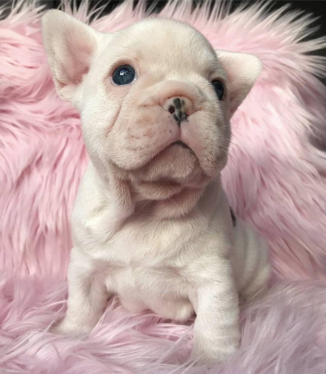 K H A L E E S I Lucylu Frenchie Frenchbulldog French