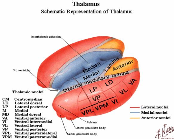 brain thalamus function - photo #31