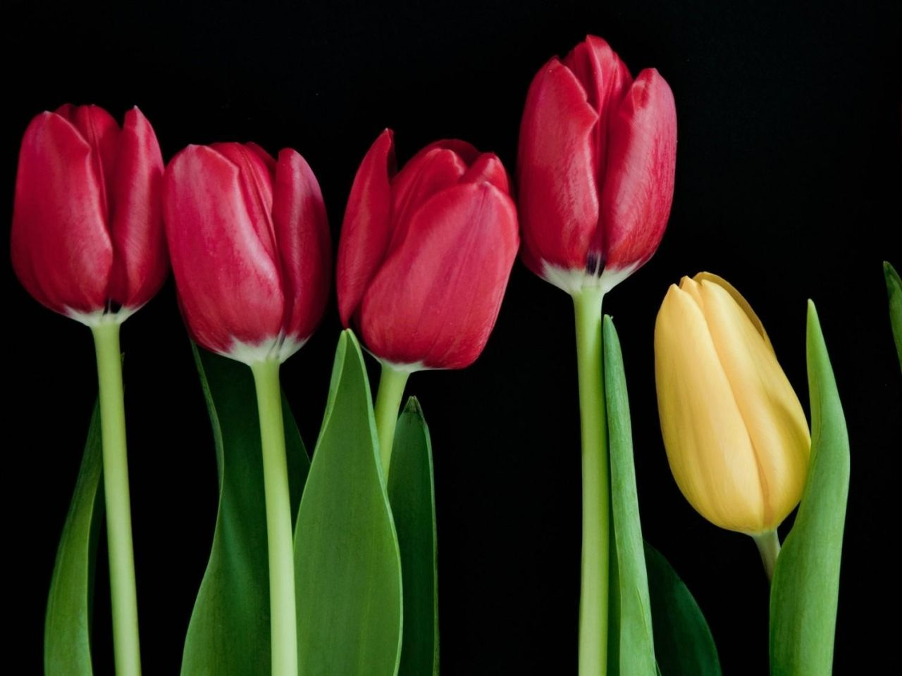 Bunga Gambar Wallpaper Tulip Batang Vektor Hitam Foto Latar Belakang Latar Belakang Tunas