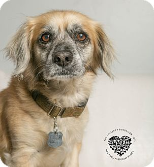 Pictures Of Bud A 10yr Old Male Cocker Spaniel Mix For Adoption