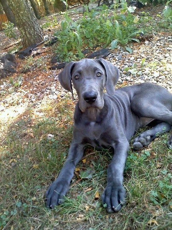 My Great Dane Blue When She Was A Widdle Baby Rachelcmouse Great