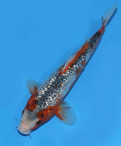 Live koi pond fish 10 gin rin blue asagi koibay rare for Koi fish colors