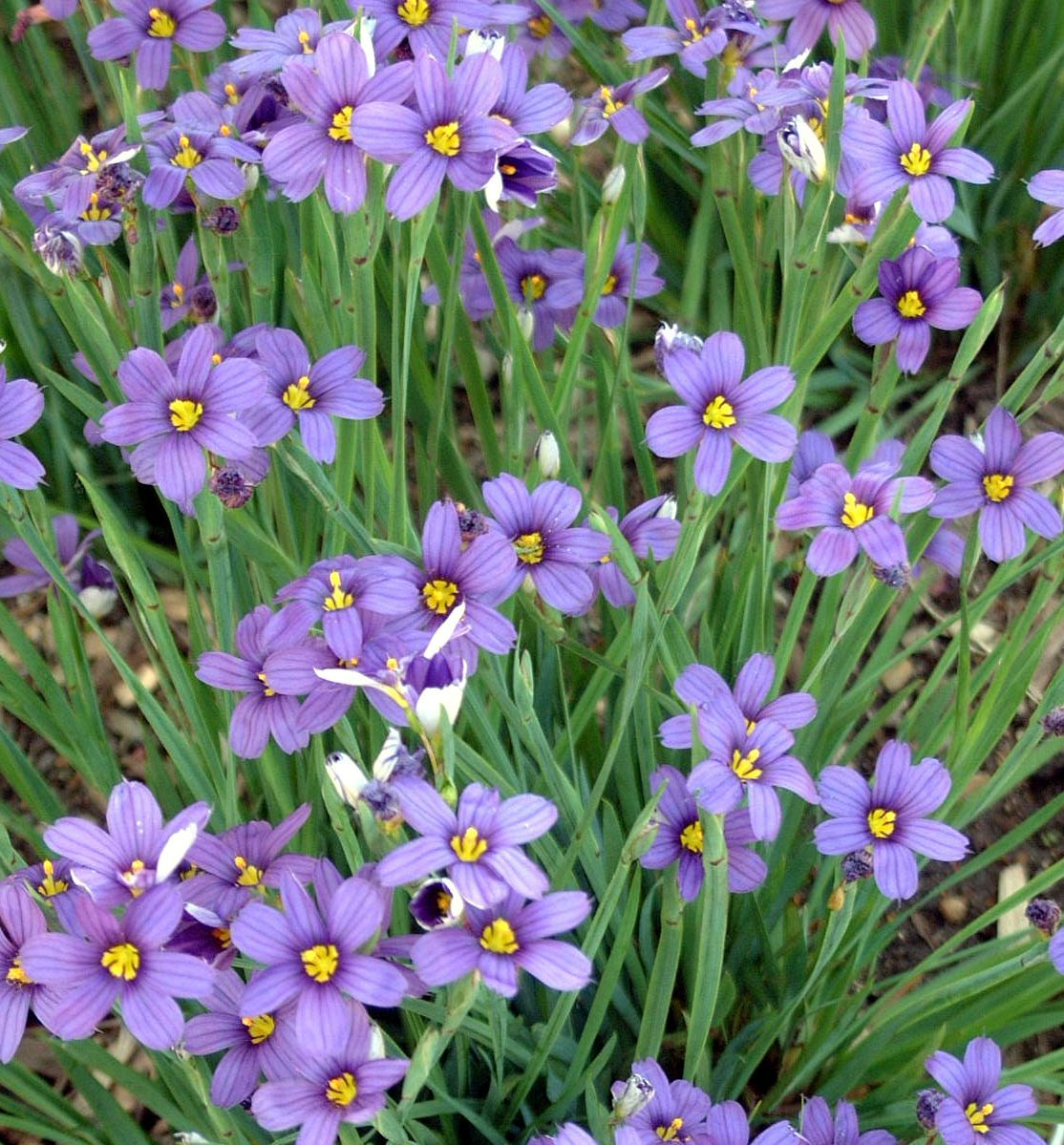 Easy To Grow Perennial With Tidy Dark Green Grass Like Foliage And