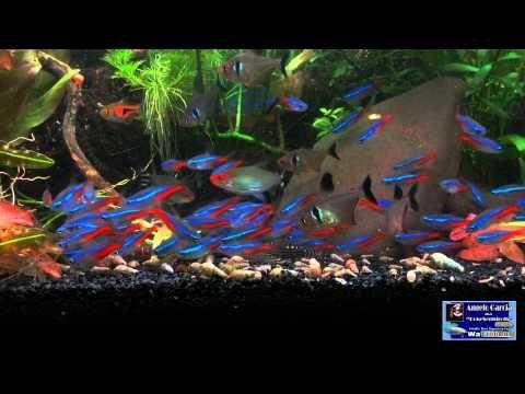 Neon Tetras Feeding On Repashy Neon Tetra Fish Neon Tetra Aquarium Fish