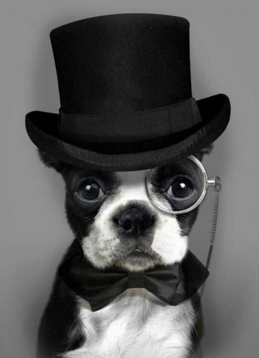 The Boston Terrier ~  A True American GentleMan